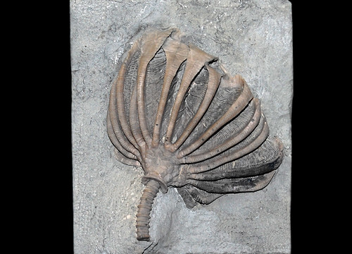 Eretmocrinus
