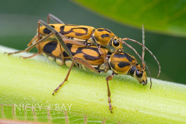 Longhorn Beetles (Chlorophorus annularis) - DSC_2468