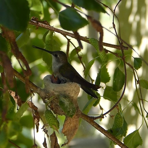 Mother Hummingbird with two babies