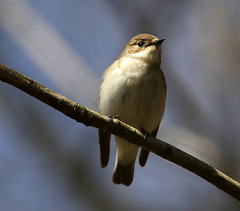 HolderPied flycatcher