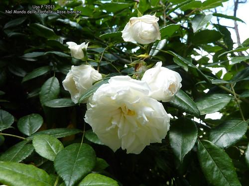 Nel Mondo delle Farfalle - Rose bianche