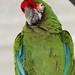 Guacamaya verde IMG_1188 por fernandodelatorre46