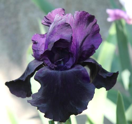 Iris - floraisons 2011 - Page 3 8735043529_5f243e3d59