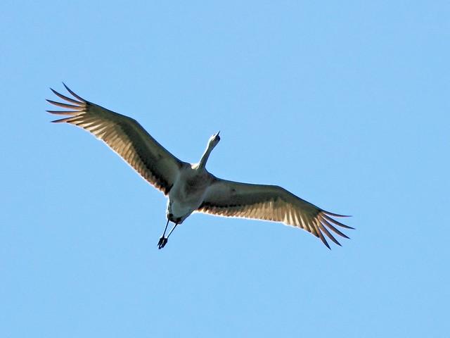 Sandhill Crane overhead 20130513