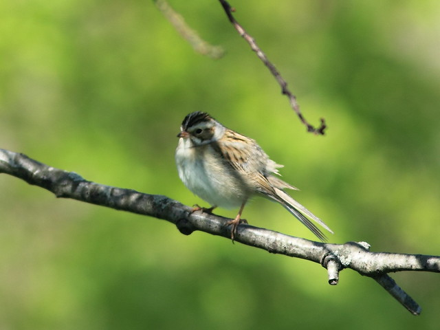 Clay-colored Sparrow1 2-20130513