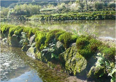 八煙梯田:砌石田梗上長滿土馬粽。(照片來源:觀察家生態顧問公司提供)