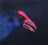 Purple Swamphen 1