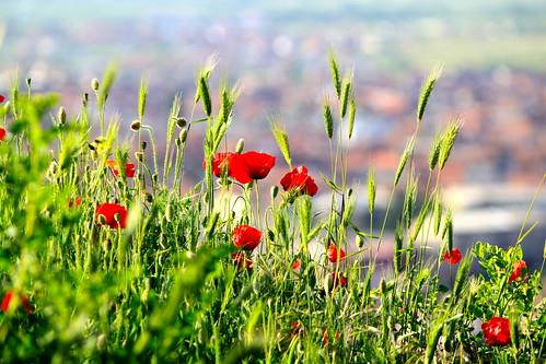 flowers houses landscape cityscape view prizren kosovo fortress kaljaja