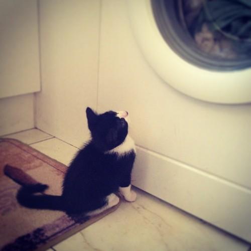 Le lave-linge, ma passion. ❤ #babychou #illico #catstagram #kitten