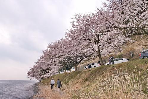 【写真】桜 : 海津大崎