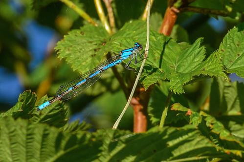 <p><i>Enallagma boreale</i> or <i>E. cyathigerum</i>, Coenagrionidae<br /> Grant Narrows, Pitt Meadows, British Columbia, Canada<br /> Nikon D5100, 70-300 mm f/4.5-5.6<br /> June 30, 2013</p>