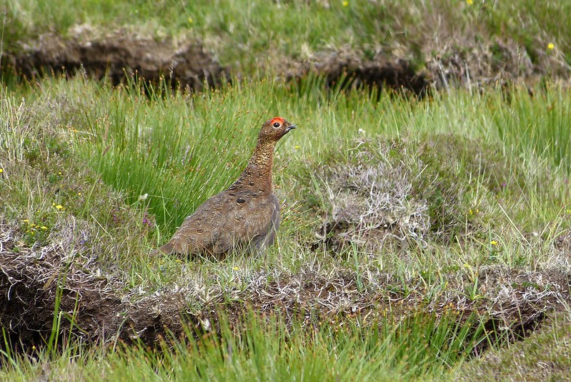 P1050368_2 - Red Grouse, Isle of Mull