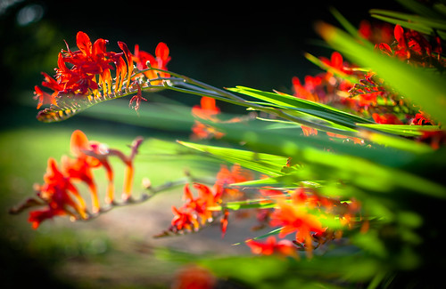 Summer gardens (red hot) - Explored