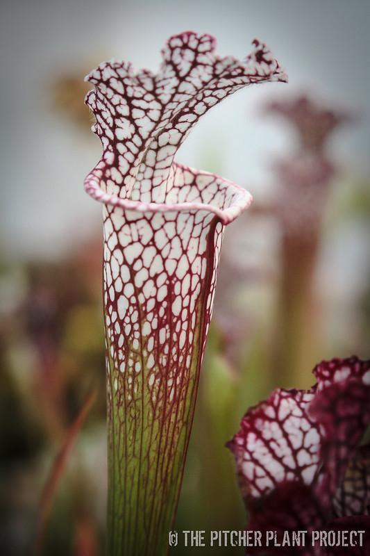 Sarracenia leucophylla - Franklin Co., FL Clone A x B