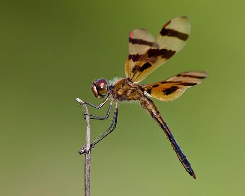 kh0831 brigantine animalportrait nj thousandplus insect dragonfly odonta