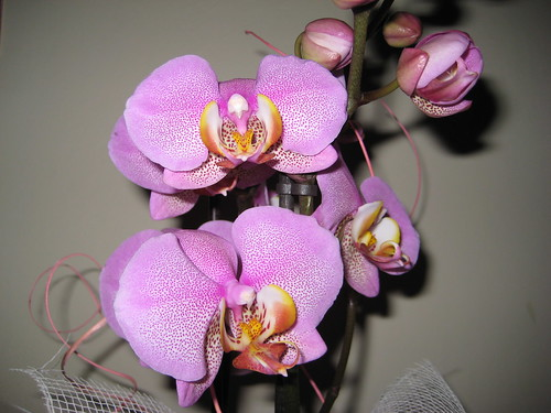 La mia prima Phalaenopsis