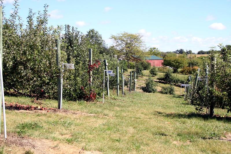 apple orchard 1