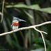 Small photo of Amazon Kingfisher in Tortuguero