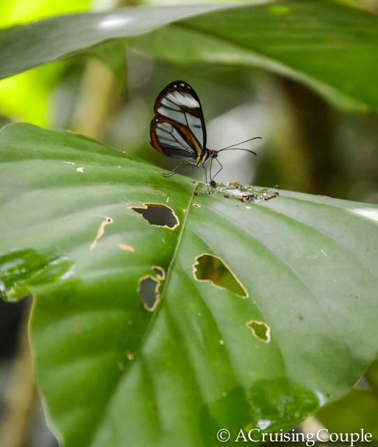 Glass Butterfly Wildlife Costa Rica Wildlife