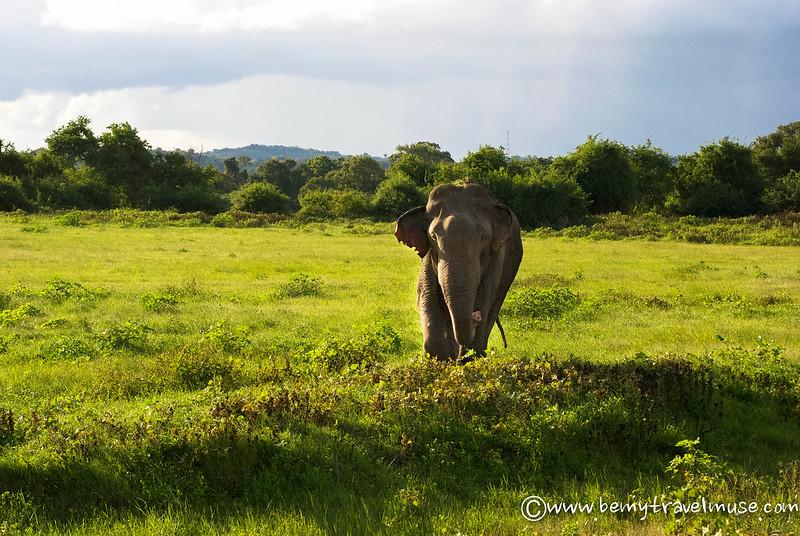 male elephant sri lanka