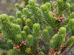 larch, evergreen, flower, pine, tree, biome, fir, spruce,