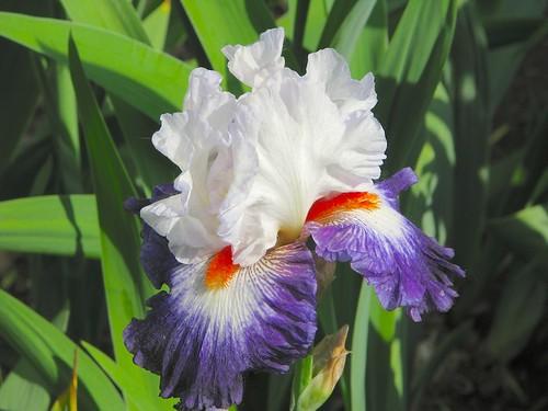 Grand iris barbu
