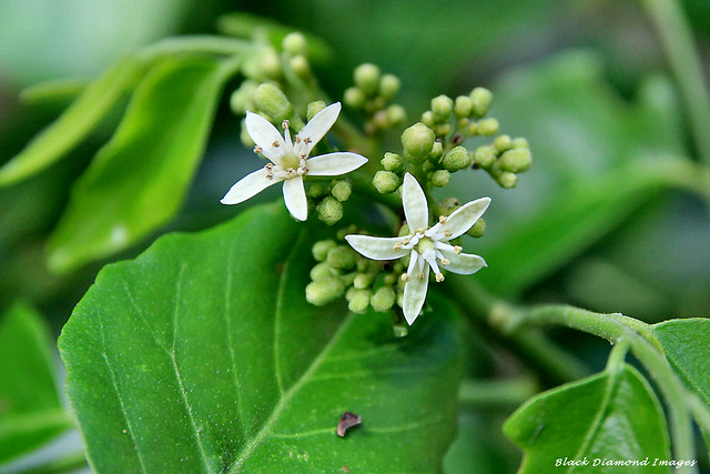 Micromelum minutum - Cluster Berry, Lime Berry