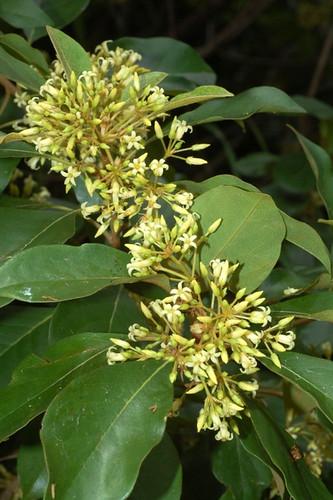 Pittosporum ferrugineum Cattana DSC_0006