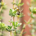 Small photo of Allograpta obliqua (Common Oblique Syrphid) on Thyme