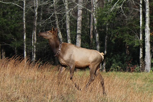 IMG_3196a_Elk_in_Cataloochee