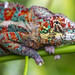 Another chameleon by Tambako the Jaguar