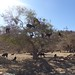 Small photo of Argan tree goats