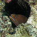 Goldentail moray eel, Grand Cayman by Hawkfish