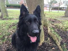 dog breed, animal, dog, pet, tervuren, east-european shepherd, shiloh shepherd dog, mudi, carnivoran,