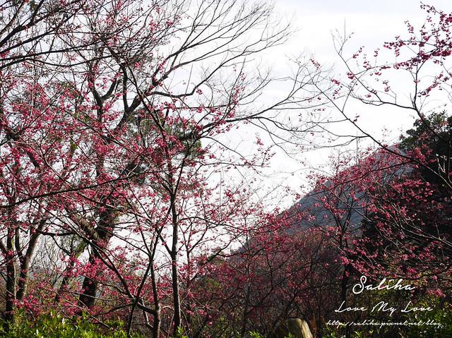 陽明山賞櫻花景點水濂洞 (14)