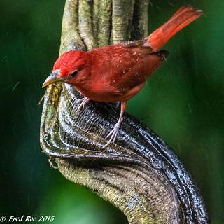Summer tanager [Piranga rubra] in the rain