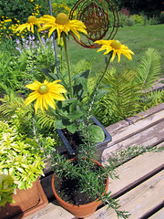Rudbeckia and Rosemary