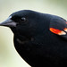 Red-winged Blackbird by Maplegum65
