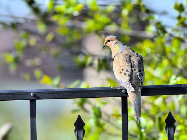 Mourning Dove HDR 3-20160505