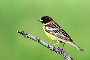 _SYT0700_黄胸鹀 Yellow-breasted Bunting
