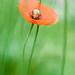 Rosella dúbia, amapola oblonga (Papaver dubium)