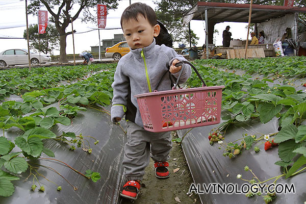 Asher picking strawberries in Hualien