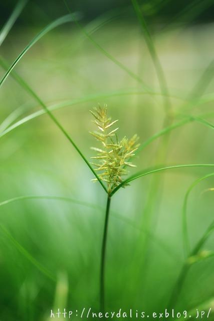 カミガヤツリ [Cyperus papyrus]...