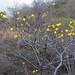 Yellow flowers - flores amarillas entre Guevea de Humboldt y Santa María Guienagati, Región Istmo, Oaxaca, Mexico por Lon&Queta