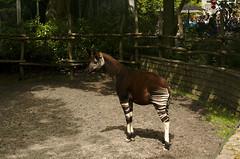 mare(0.0), pack animal(0.0), horse(0.0), animal(1.0), zoo(1.0), okapi(1.0), mammal(1.0), fauna(1.0),