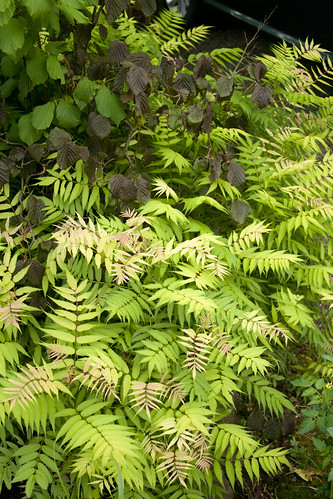 Sorbaria and Corylus