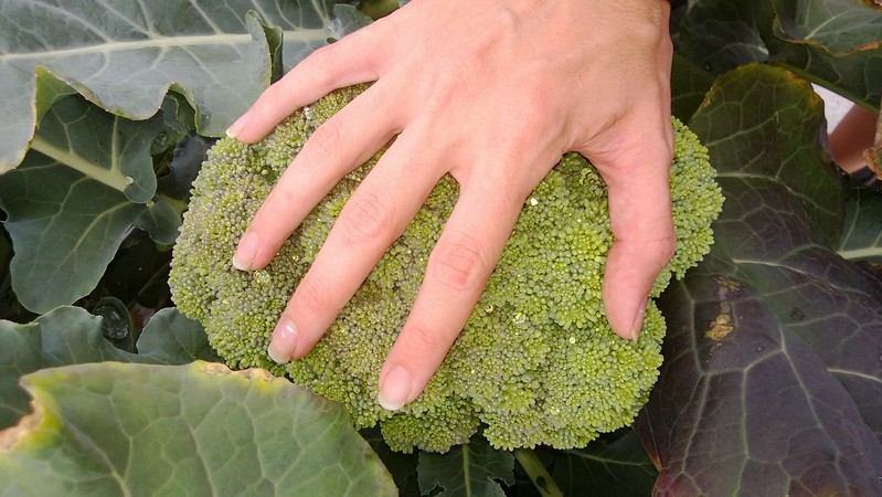 broccoliWP_20130603_006