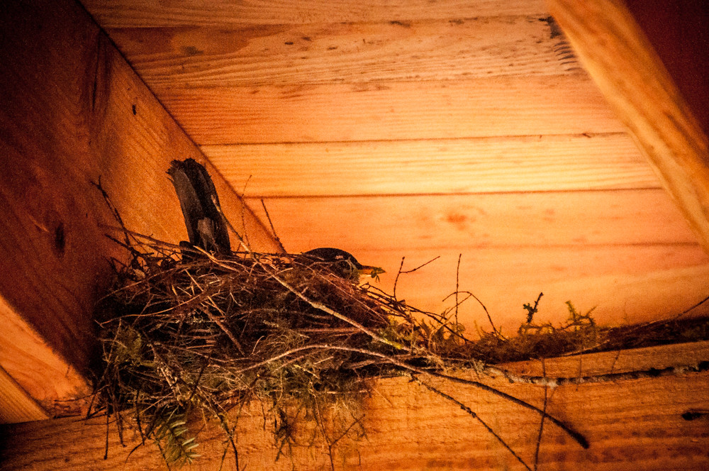 Robin On Nest -- Washington State