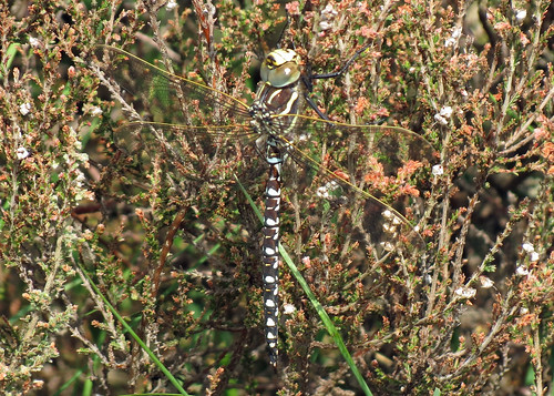 Common Hawker - Aeshna juncea