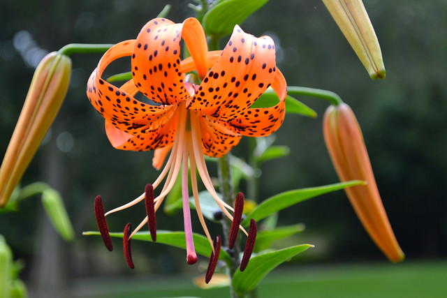 Lilium lancifolium var fortunei (tiger lily) in the Plant Family Collection monocot border. Photo by Blanca Begert.